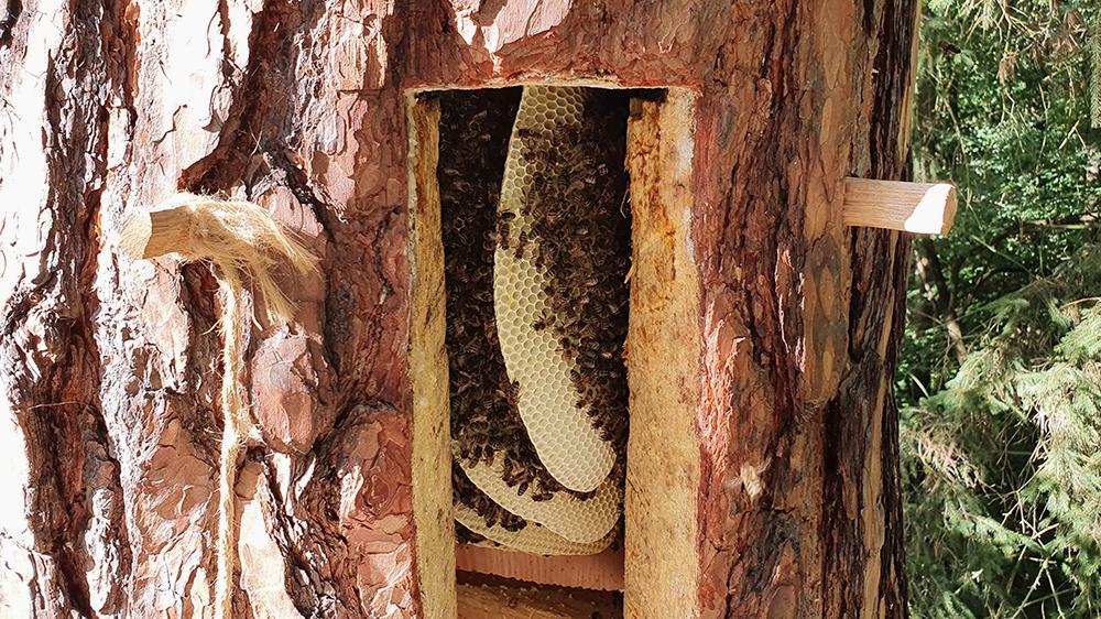 Bienen in einer Baumhöhle