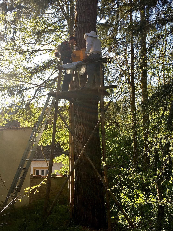 Zwei Imker stehen in mehreren Metern Höhe auf einer Holzkonstruktion am Baum und logieren einen Bienenschwarm in eine Baumhöhle ein