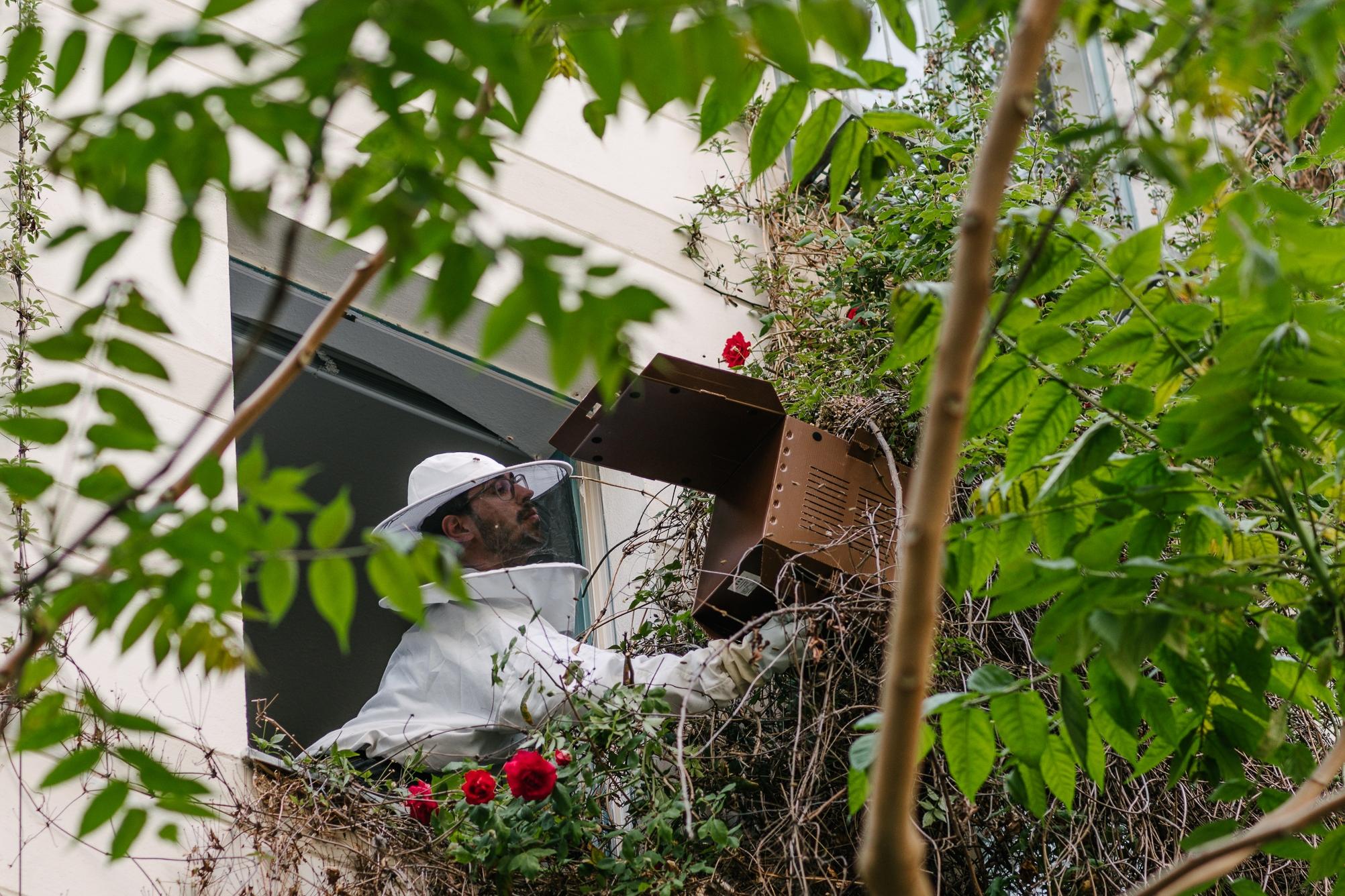 Bienenschwarm einfangen vom Fenster