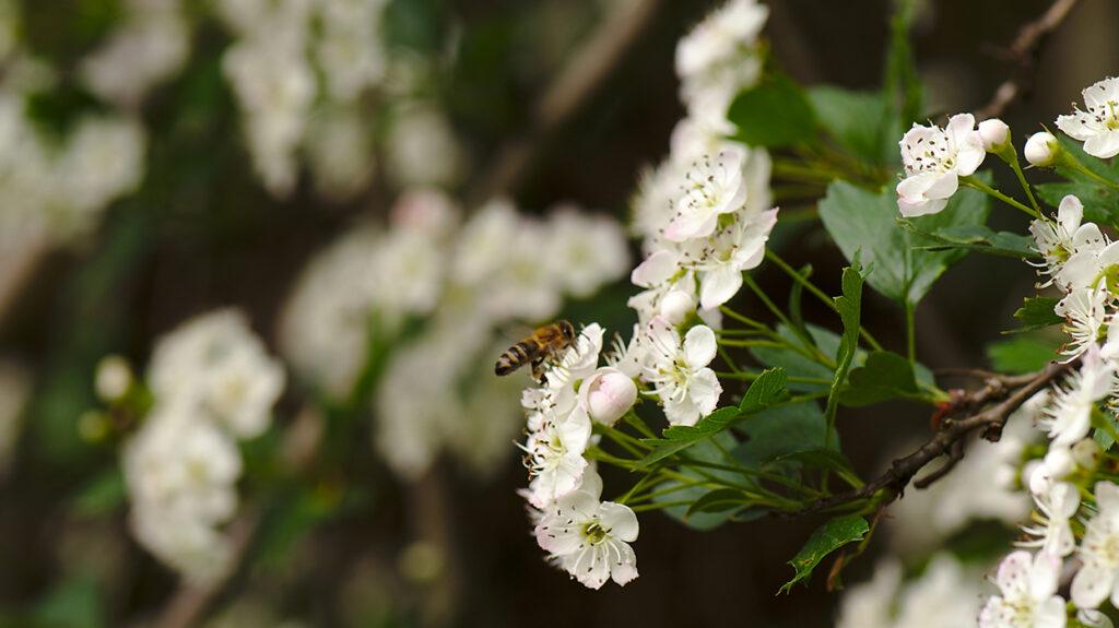 Honigbiene bei Bestäubung einer Blüte